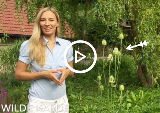 Weber-Karde, Medizin aus dem Garten